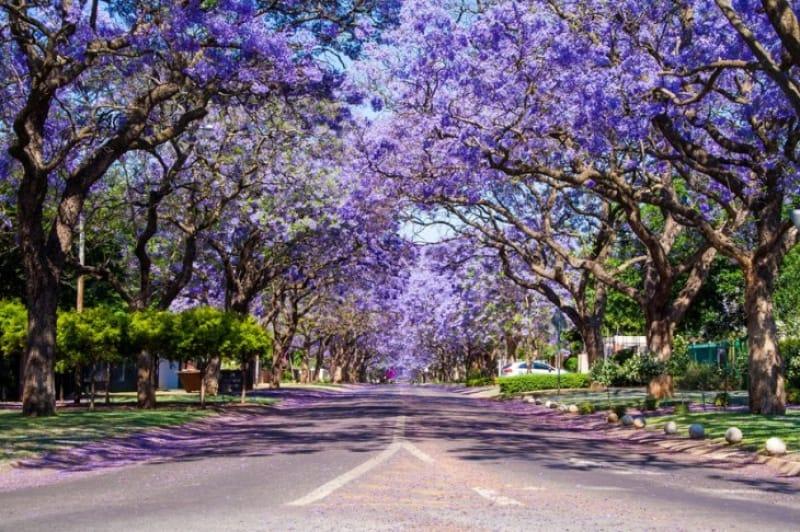 紫色のトンネル ジャカランダの街路樹