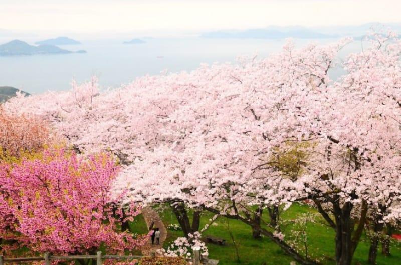101696:あなたが出会う「紫雲出山の桜」はどんな表情?