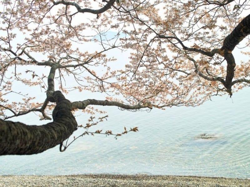 94301:満開の桜と琵琶湖、そして竹生島