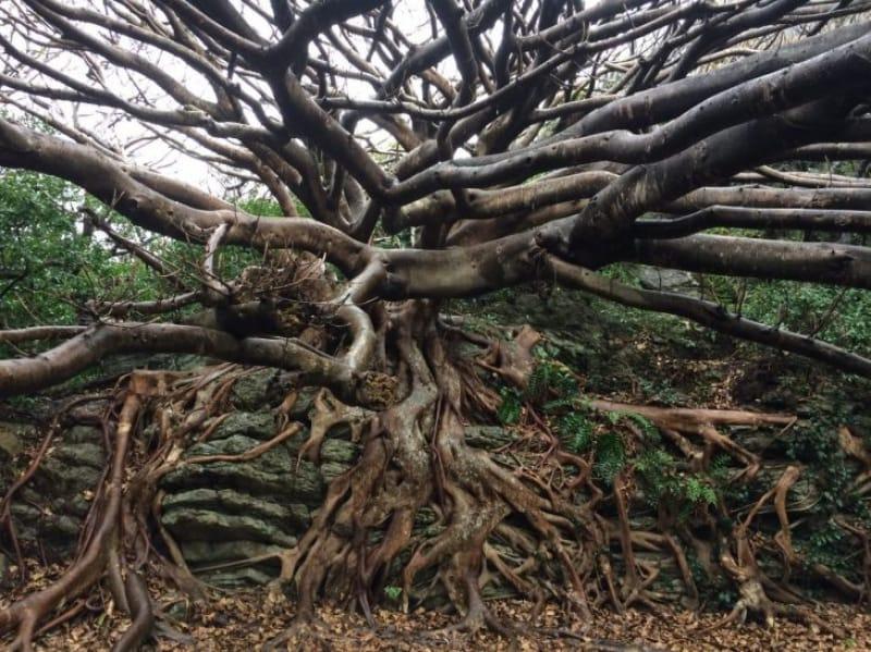94167:岩にしがみつくバケモノのような木があります