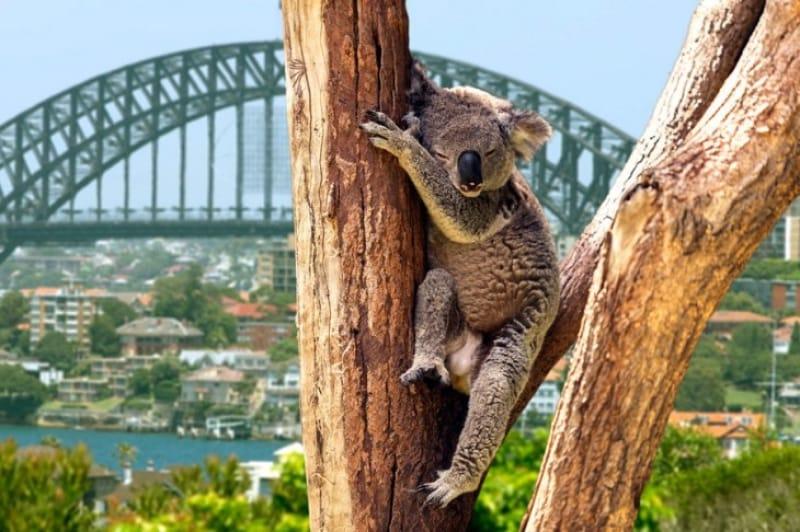 可愛い見た目が人気のコアラ