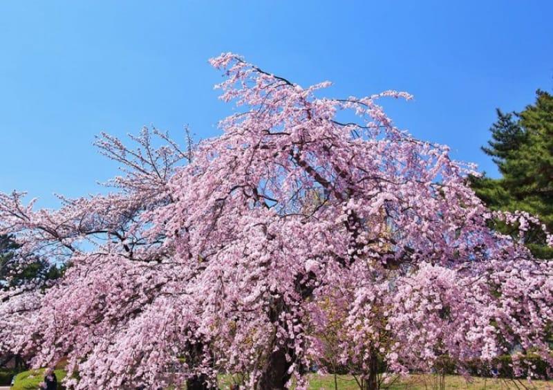 「春」の桜の見どころとえば、榴岡公園と船岡の一目千本桜